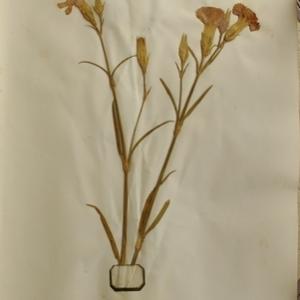 Dianthus caryophyllus L. (Oeillet des fleuristes)
