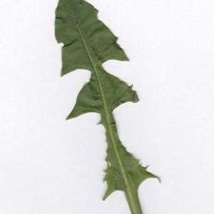 Photographie n°985662 du taxon Taraxacum officinale F.H.Wigg. [1780]