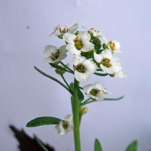 Lobularia maritima (L.) Desv. subsp. maritima (Alysson maritime)