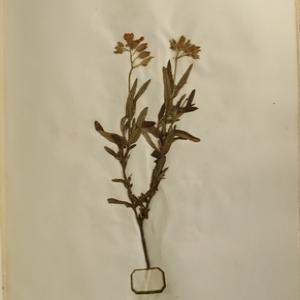 Photographie n°986818 du taxon Cistus monspeliensis L.