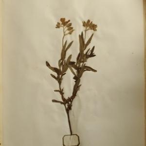 Photographie n°986822 du taxon Cistus monspeliensis L.
