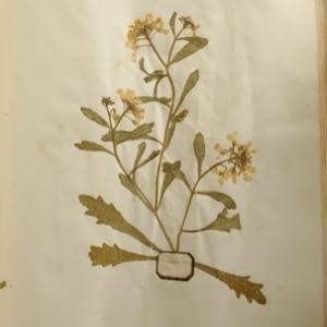 - Iberis umbellata L. [1753]