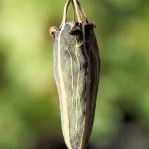 Photographie n°987001 du taxon Papaver cambricum L. [1753]