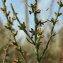 liliane Pessotto - Thymelaea passerina (L.) Coss. & Germ. [1861]