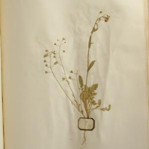 Photographie n°987092 du taxon Capsella bursa-pastoris (L.) Medik.