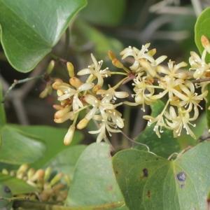 Photographie n°987169 du taxon Smilax aspera L. [1753]