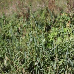 Photographie n°987671 du taxon Echinochloa crus-galli (L.) P.Beauv. [1812]