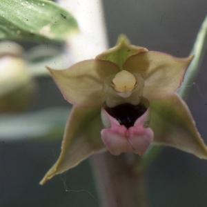 Photographie n°987905 du taxon Epipactis kleinii M.B.Crespo, M.R.Lowe & Piera [2001]