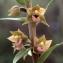 Liliane Roubaudi - Epipactis kleinii M.B.Crespo, M.R.Lowe & Piera [2001]