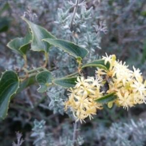 Photographie n°988021 du taxon Smilax aspera L. [1753]