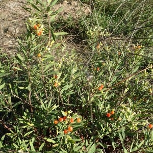 Photographie n°988037 du taxon Daphne gnidium L. [1753]