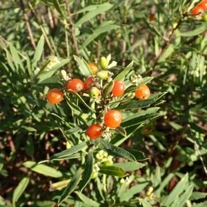 Photographie n°988038 du taxon Daphne gnidium L. [1753]