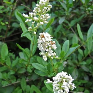 Photographie n°988608 du taxon Ligustrum vulgare L. [1753]