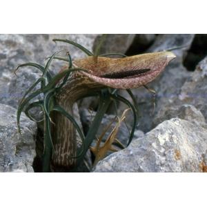 Helicodiceros muscivorus (L.f.) Engl. (Arum mange-mouches)