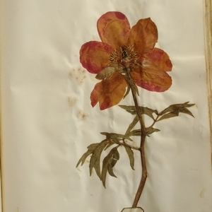 Paeonia officinalis L. subsp. officinalis (Pivoine officinale)
