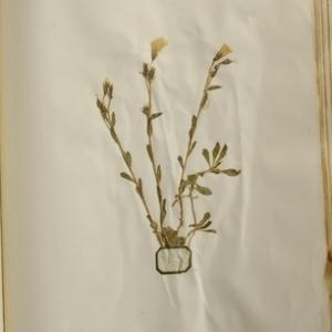 Photographie n°988863 du taxon Linum strictum L.