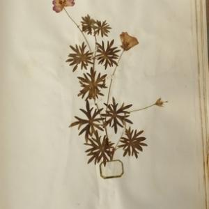 Geranium sanguineum L. (Géranium rouge sang)