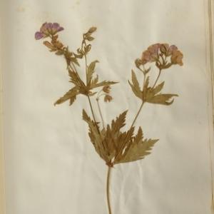 Geranium sylvaticum L. [1753] (Géranium des bois)
