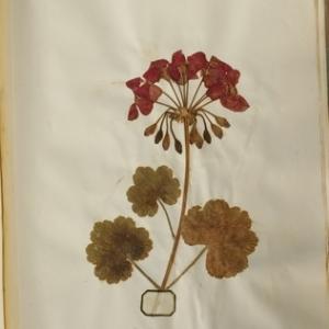 Pelargonium sp. [1789]