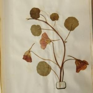 Tropaeolum majus L. [1753] (Capucine)