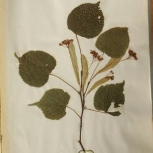 Tilia ulmifolia n-subsp. vulgaris (Hayne) H.Marcailhou & Marcailhou (Tilleul commun)