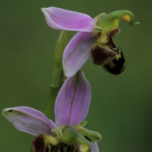 Photographie n°990938 du taxon Ophrys apifera Huds. [1762]