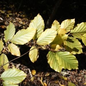 Photographie n°991759 du taxon Fagus sylvatica L.