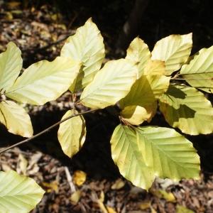 Photographie n°991760 du taxon Fagus sylvatica L.