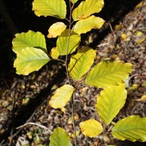 Photographie n°991767 du taxon Fagus sylvatica L.