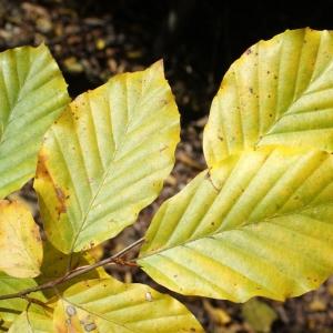 Photographie n°991771 du taxon Fagus sylvatica L.
