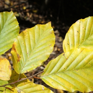 Photographie n°991772 du taxon Fagus sylvatica L.