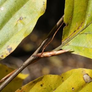 Photographie n°991775 du taxon Fagus sylvatica L.