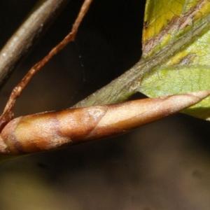 Photographie n°991776 du taxon Fagus sylvatica L.