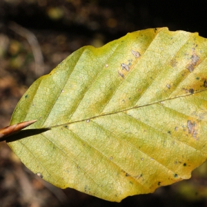 Photographie n°991780 du taxon Fagus sylvatica L.