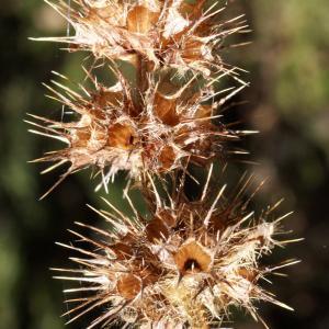 Photographie n°991783 du taxon Galeopsis tetrahit L.