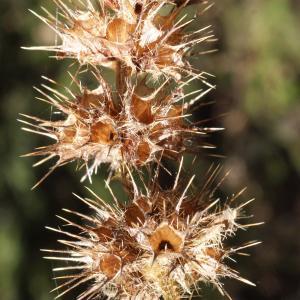 Photographie n°991785 du taxon Galeopsis tetrahit L.