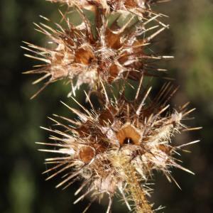 Photographie n°991786 du taxon Galeopsis tetrahit L.