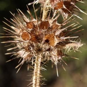 Photographie n°991789 du taxon Galeopsis tetrahit L.