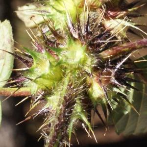 Photographie n°991796 du taxon Galeopsis tetrahit L.