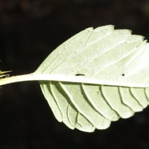 Photographie n°991814 du taxon Galeopsis tetrahit L.