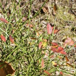 Photographie n°992549 du taxon Vaccinium myrtillus L.