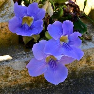 Thunbergia grandiflora Roxb.