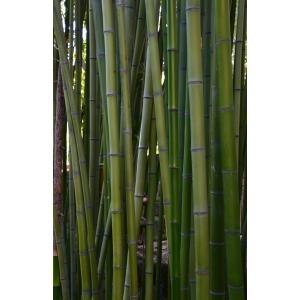 Phyllostachys bambusoides Siebold & Zucc.