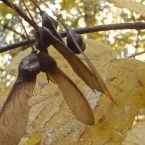 Photographie n°994765 du taxon Acer opalus Mill.