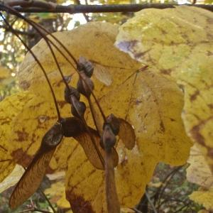 Photographie n°994772 du taxon Acer opalus Mill.