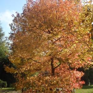Photographie n°995487 du taxon Acer L.