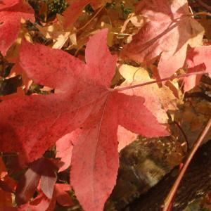 Photographie n°995491 du taxon Acer L.