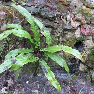 Photographie n°998742 du taxon Asplenium scolopendrium L. [1753]