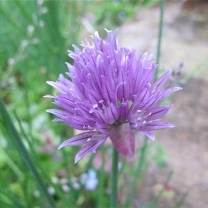 Photographie n°998773 du taxon Allium schoenoprasum L.