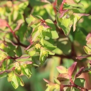 Photographie n°998905 du taxon Euphorbia peplus L. [1753]